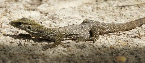 Thailand - reptile
